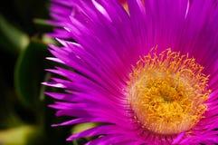 Carpobrotus succulent plant with pink flowers Stock Photo