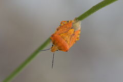 Carpocoris. Is a genus of shield bug in the Pentatomidae family Royalty Free Stock Images