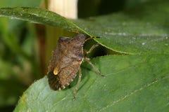 Carpocoris purpureipennis. Climbing on the plant Stock Photo
