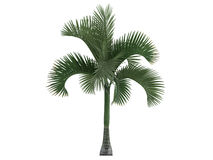 Carpoxylon Palm (Carpoxylon macrospermum) Stock Photos