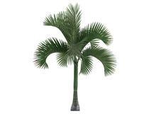 Carpoxylon Palm (Carpoxylon macrospermum) stock illustration