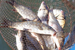 Carps. Fresh caught fish in cages in the sun shimmering scales. Carps royalty free stock photos