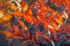 Carps Royalty Free Stock Image