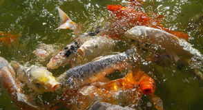 Carps Royalty Free Stock Photo