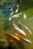 Carps Royalty Free Stock Photos