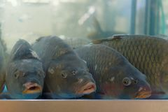 Carps in the aquarium. Big carps in the aquarium on fish market Royalty Free Stock Images