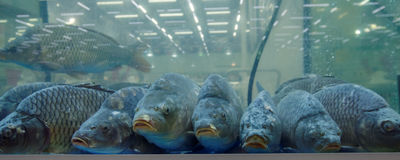 Carps in the aquarium Stock Photo