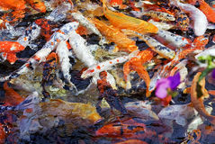 Carps as a background Royalty Free Stock Images
