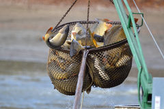 Carps catched in the landing net Royalty Free Stock Photo