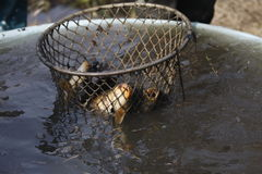 Carps caught in the net Royalty Free Stock Photography