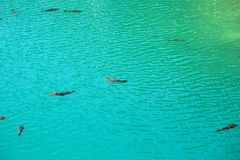 Carps in clear blue water Stock Image