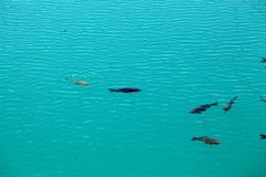 Carps in clear blue water Stock Images