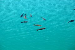 Carps in clear blue water Royalty Free Stock Photography
