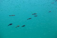 Carps in clear blue water Stock Photo
