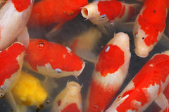 Carps crowd royalty free stock image