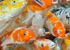 Carps in crowd Stock Photo