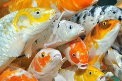 Carps in crowd to same direction Royalty Free Stock Photography