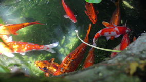 Carps crowding in the pond stock video footage