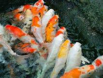 Carps fish. Colourfull carps fish in pond Royalty Free Stock Image