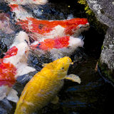 Carps fish Stock Photography