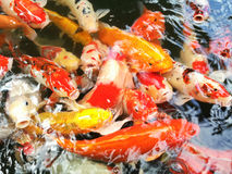 Carps fish swim in pond. Movement of Swimming on water surface Stock Images