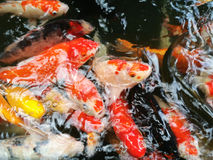 Carps fish swim in pond. Movement of Swimming on water surface Royalty Free Stock Photography