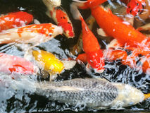 Carps fish swim in pond. Movement of Swimming on water surface Stock Photos