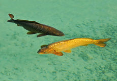 Carps fishes couple Stock Image