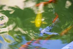 Carps koi under water pond blue background abstraction stock photography