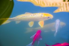 Carps koi under water pond blue background abstraction royalty free stock image