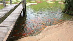 Carps in the pond stock footage