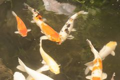 Carps in a pond. Are ready to eat each other Royalty Free Stock Image
