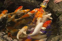 Carps in a pond. Are ready to eat each other Stock Photo