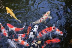 Carps. In the pond of Japann Royalty Free Stock Photos