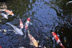 Carps. In the pond of Japann Stock Photos