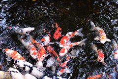Carps. In the pond of Japann Royalty Free Stock Images