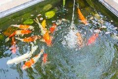 Carps in pond. Stock Photos