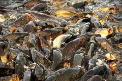 Carps in the Sacred Lake of Rewalsar Stock Images