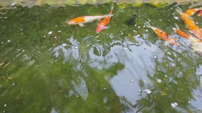 Carps swimming in pond. stock video footage