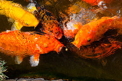 Carps trying to eat the small ball of ration on water Royalty Free Stock Photography