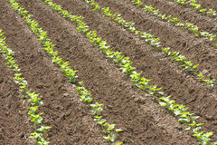 Carré de légumes de patate douce Image stock