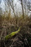 Carr woodland. Interior of willow carr woodland showing typical tangle of branches and undergrowth beneath trees and shrubs Royalty Free Stock Photos