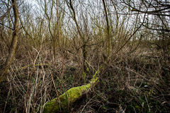 Carr woodland. Interior of willow carr woodland showing typical tangle of branches and undergrowth beneath trees and shrubs Stock Photo