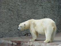 Carregar-fêmea polar Foto de Stock Royalty Free