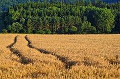 Carreggiate nel campo con grano maturo Fotografia Stock