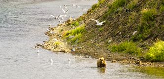 Carregue andar em um rio na península de Katmai imagem de stock royalty free
