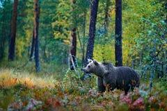 Carregue escondido em árvores amarelas do outono da floresta com urso Urso marrom bonito que anda em torno do lago com cores da q imagens de stock royalty free