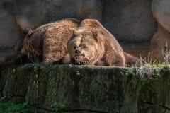 Carregue o urso marrom nas rochas e no fundo da caverna Foto de Stock Royalty Free