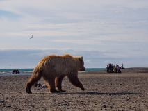 Carregue olhar no parque nacional de Katmai, Alaska fotos de stock