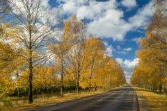 Carretera de asfalto en la avenida del abedul, opinión del otoño Paisaje n Fotos de archivo